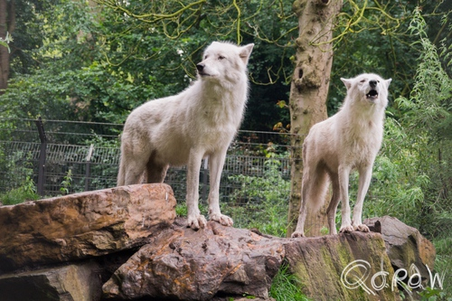 Artis (2014) ; Wolf, Grey Wolf, Witte wolf, Canis lupus | foto 14